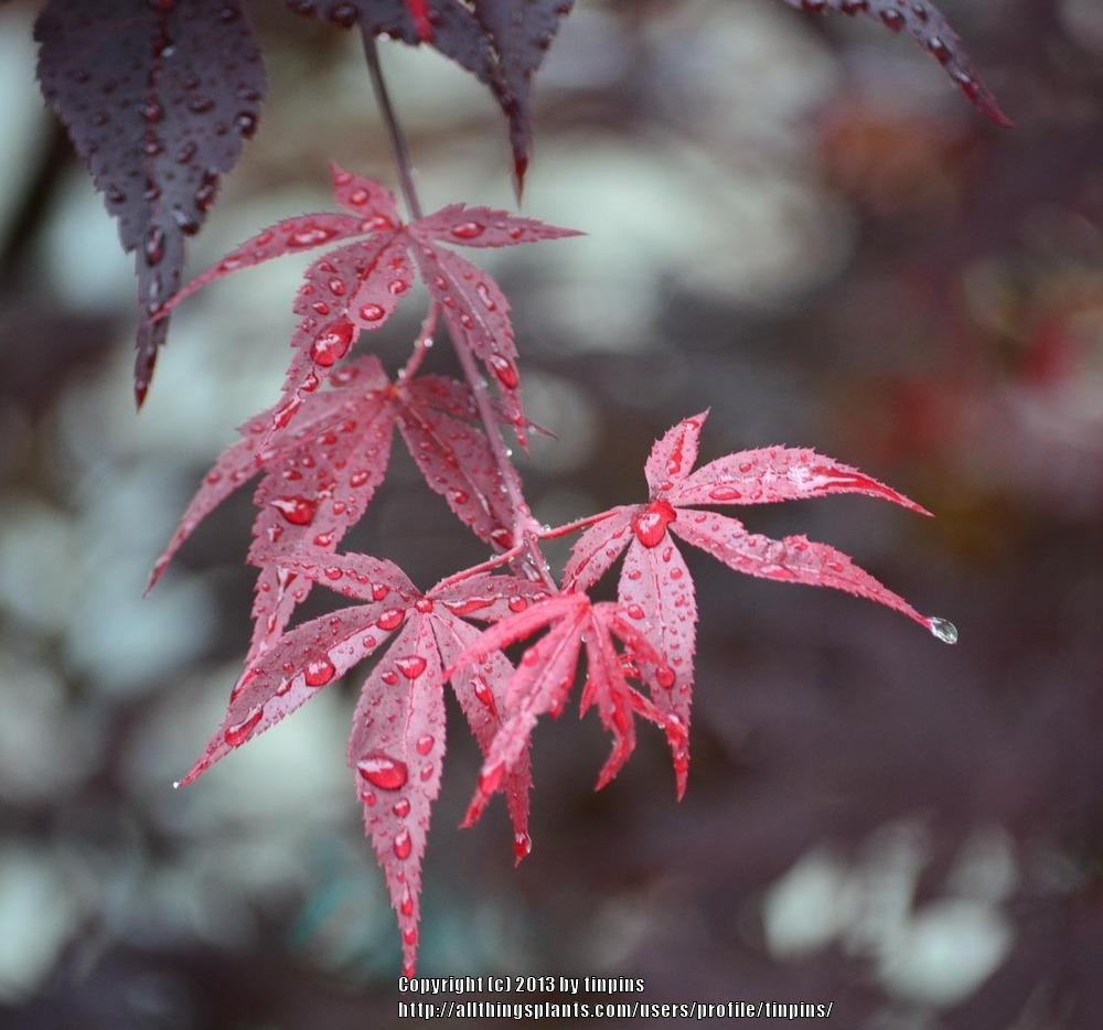 Photo of Japanese Maple (Acer palmatum var. amoenum 'Bloodgood') uploaded by tinpins