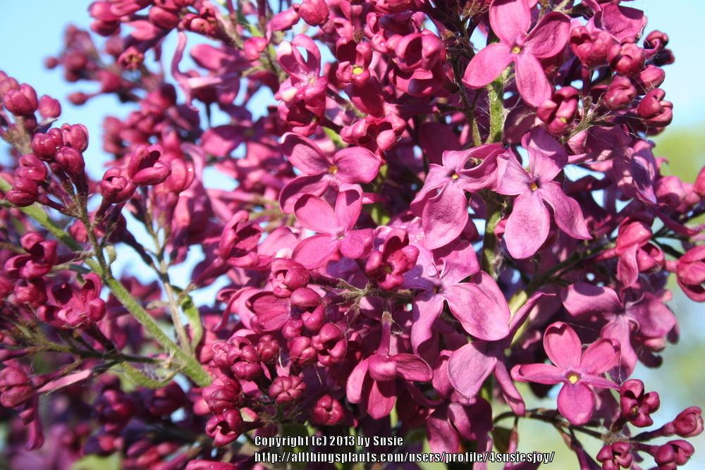 Photo of Common Lilac (Syringa vulgaris 'Monge') uploaded by 4susiesjoy