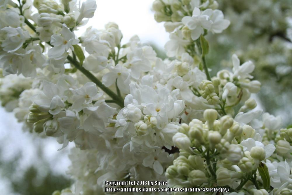 Photo of French Lilac (Syringa vulgaris 'Miss Ellen Willmott') uploaded by 4susiesjoy