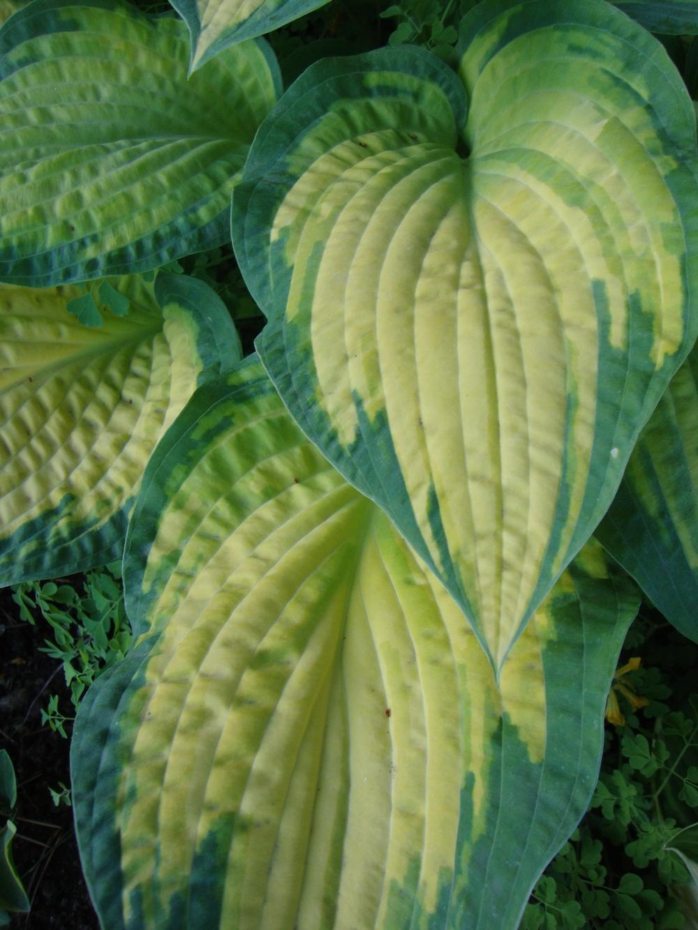 Photo of Hosta 'Orange Marmalade' uploaded by Paul2032