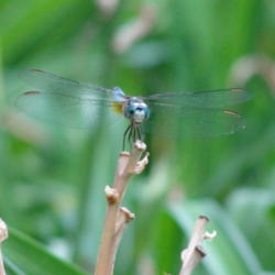 Thumb of 2013-06-10/Sheridragonfly/bf908a