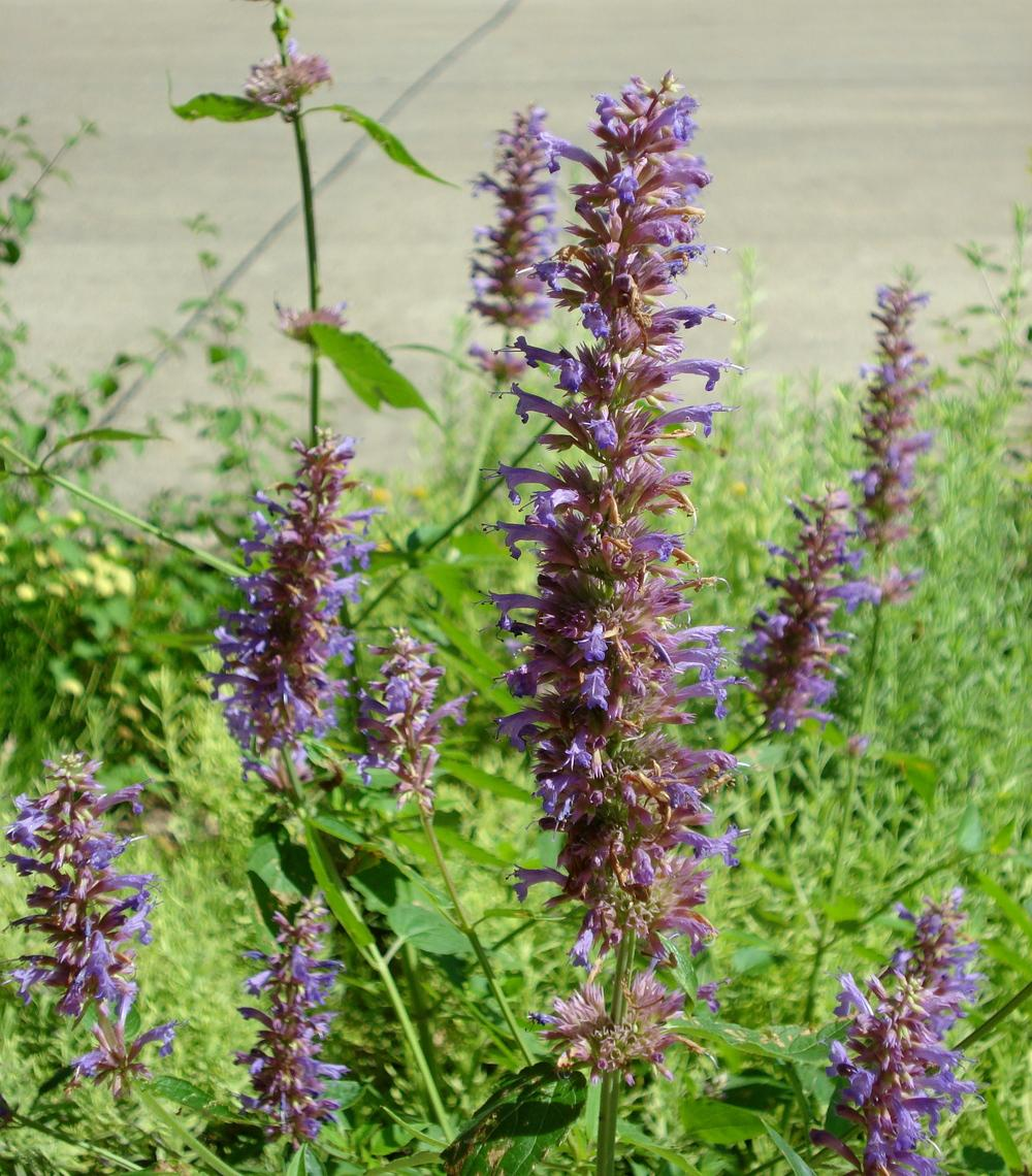 Photo of Hyssop (Agastache 'Blue Boa') uploaded by lovemyhouse