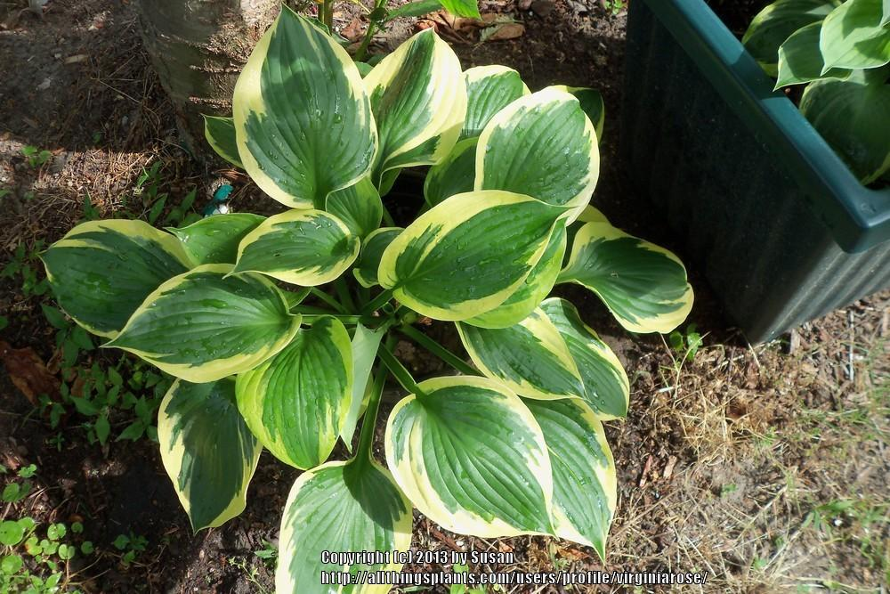 Photo Of The Leaves Of Hosta Twilight Posted By Virginiarose