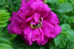 Thumb of 2013-06-11/Cottage_Rose/975c9a