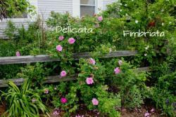 Thumb of 2013-06-12/Cottage_Rose/17b298