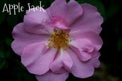 Thumb of 2013-06-12/Cottage_Rose/331a41