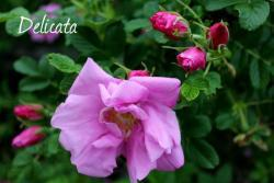 Thumb of 2013-06-12/Cottage_Rose/97c27d