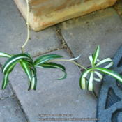 Location: At our garden - San Joaquin County, CADate: 2013-06-12Baby spider plant begets a baby of its own, with variat
