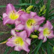 Location: My garden in northeast TexasDate: 2013-06-13#Seedling My daylily cross of two Jack Carpenter seedli