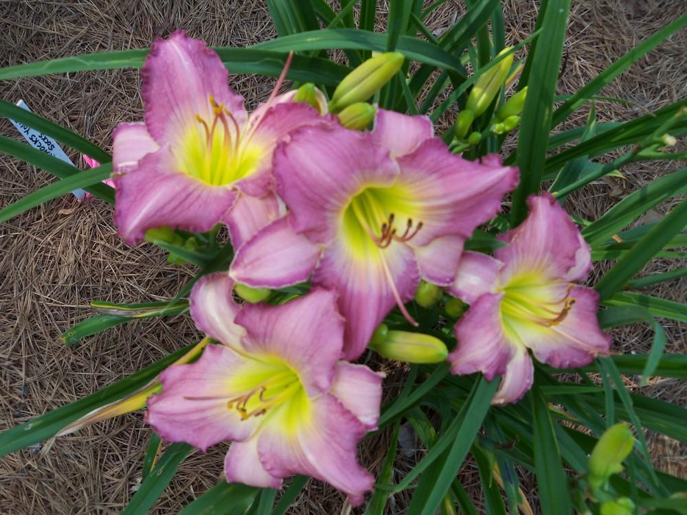 Photo of Daylilies (Hemerocallis) uploaded by Avedon