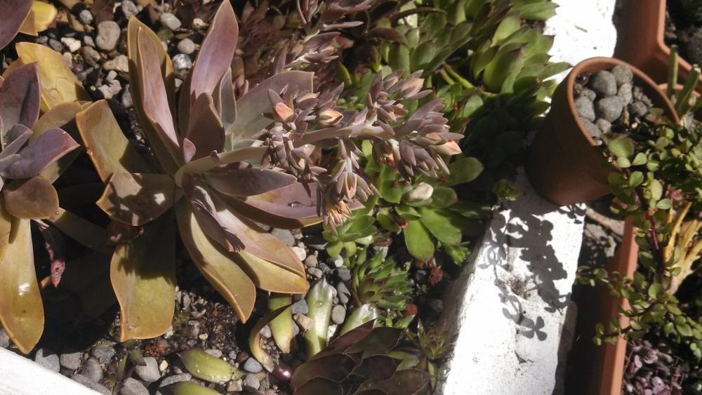 Photo of Graptoveria (XGraptoveria 'Fred Ives') uploaded by a2b1c3
