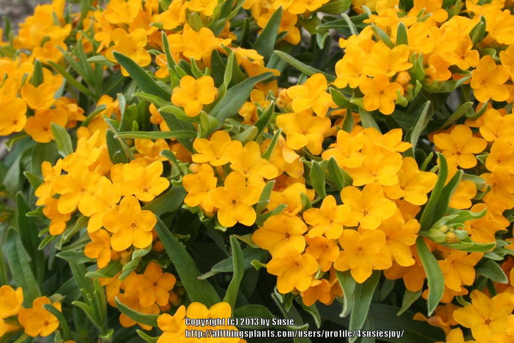 Photo of Hairy puccoon (Lithospermum caroliniense) uploaded by 4susiesjoy