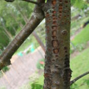 Location: My GardenDate: 2013-06-12The holes in the bark are from sapsucker woodpeckers' , Eventuall