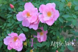 Thumb of 2013-06-15/Cottage_Rose/058487