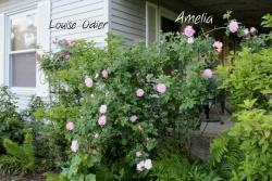 Thumb of 2013-06-15/Cottage_Rose/36d2b1