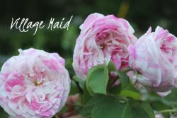 Thumb of 2013-06-15/Cottage_Rose/7508d5