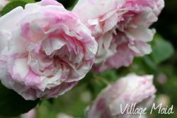Thumb of 2013-06-15/Cottage_Rose/7d42fc