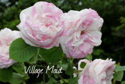 Thumb of 2013-06-15/Cottage_Rose/b3f4c9