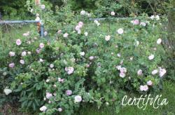 Thumb of 2013-06-15/Cottage_Rose/c4b683