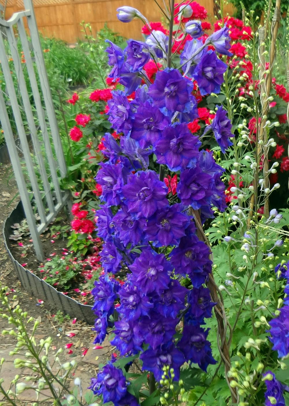 how to cut back delphiniums