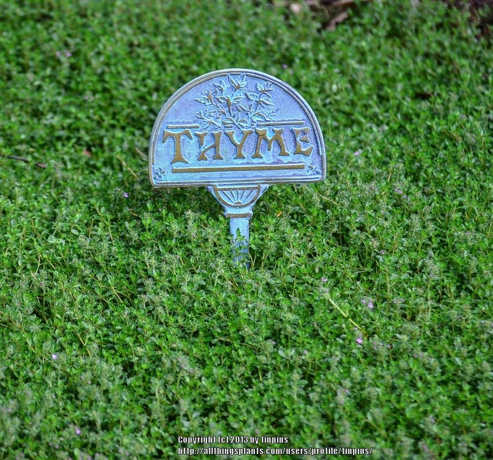 Photo of Creeping Thyme (Thymus serpyllum) uploaded by tinpins