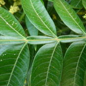 Location: Northeastern, TexasDate: 2013-06-13Close up of leaf