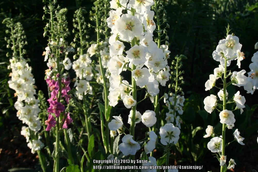 Photo of Purple Mullein (Verbascum phoeniceum 'Flush of White') uploaded by 4susiesjoy