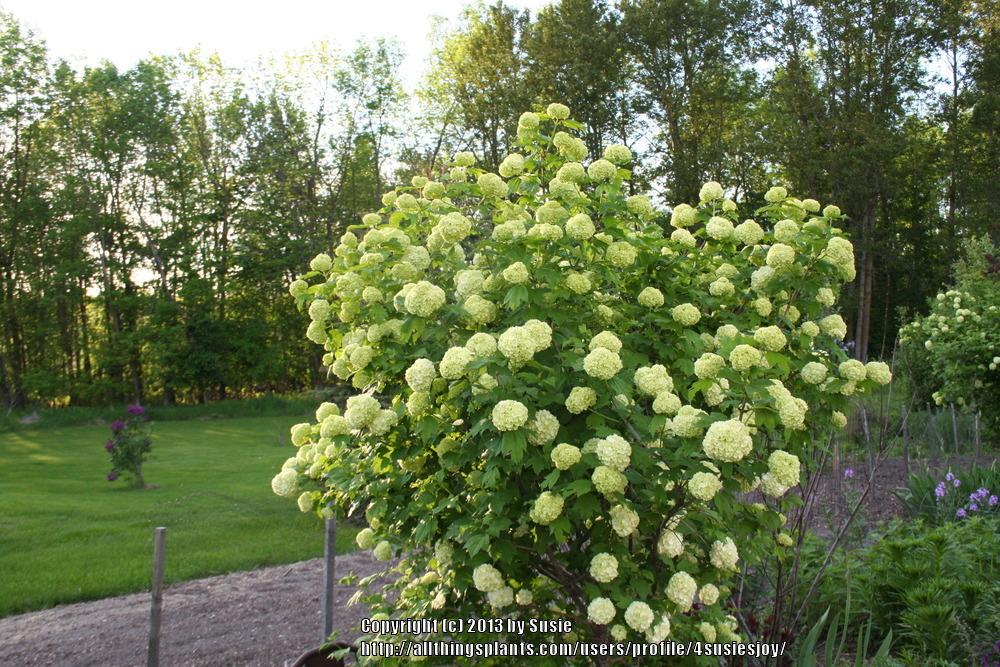 Photo of European Snowball Bush (Viburnum opulus 'Roseum') uploaded by 4susiesjoy