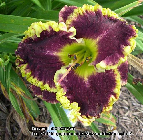 Photo of Daylily (Hemerocallis 'Bella Note') uploaded by farmerbell