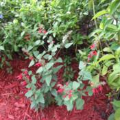 Location: Sebastian, FloridaDate: 2013-04-25This plant is literally a weed in Florida. I find it growing ever