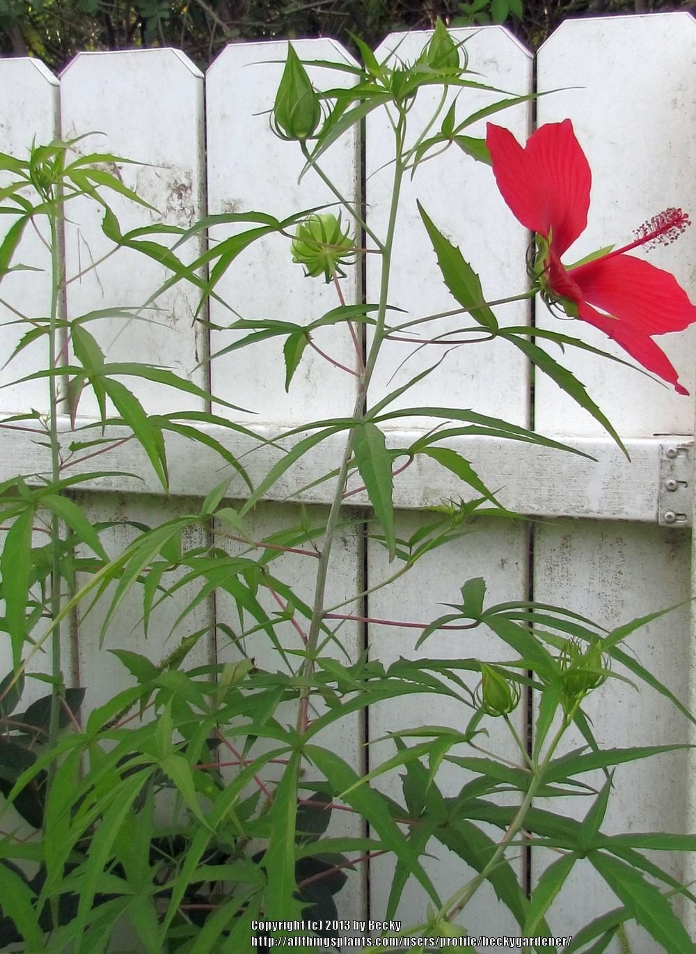 Photo Of The Entire Plant Of Texas Star Hibiscus Coccineus Posted
