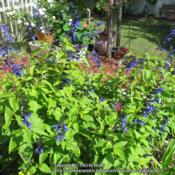 Location: Sebastian, FloridaDate: 2013-05-16The blue blooms on this salvia are striking. It spreads