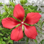 Location: Sebastian, FloridaDate: 2013-06-07Large, red blooms that attract hummingbirds.