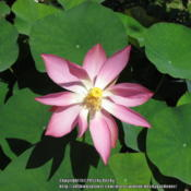 Location: Sebastian, FloridaDate: 2013-05-15Such a rare ocassion to see a bloom on my water lotus p