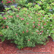 Location: Sebastian, FloridaDate: 2013-05-29One of my favorite salvias for Florida! Drought toleran