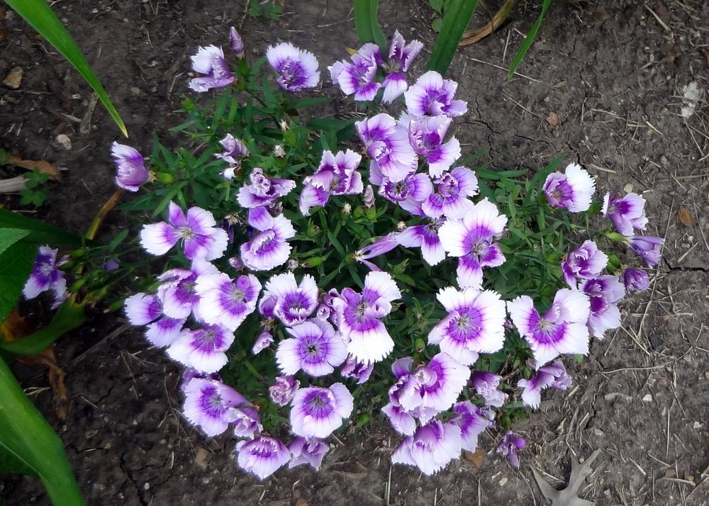 Photo of Dianthus uploaded by stilldew