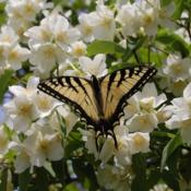 Location: MaineDate: 2013-06-16Every year butterfly's & bee's come in droves and the smell is wo