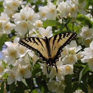 Every year butterfly's & bee's come in droves and the smell is wo