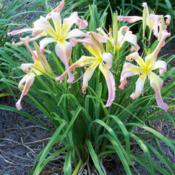 Location: My garden in northeast TexasDate: 2013-06-18The flowers look like ribbons on presents, a lovely sight
