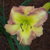 Location: My garden in northeast TexasDate: 2013-06-21Brand new plant for us, and this is the first bloom; pl