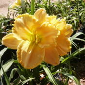 Location: Roby, TX Date: June 20, 2012Daylily Larry Grace