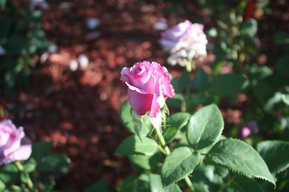 Roses forum beautiful lavender rose with heavy perfume for Can you get purple roses
