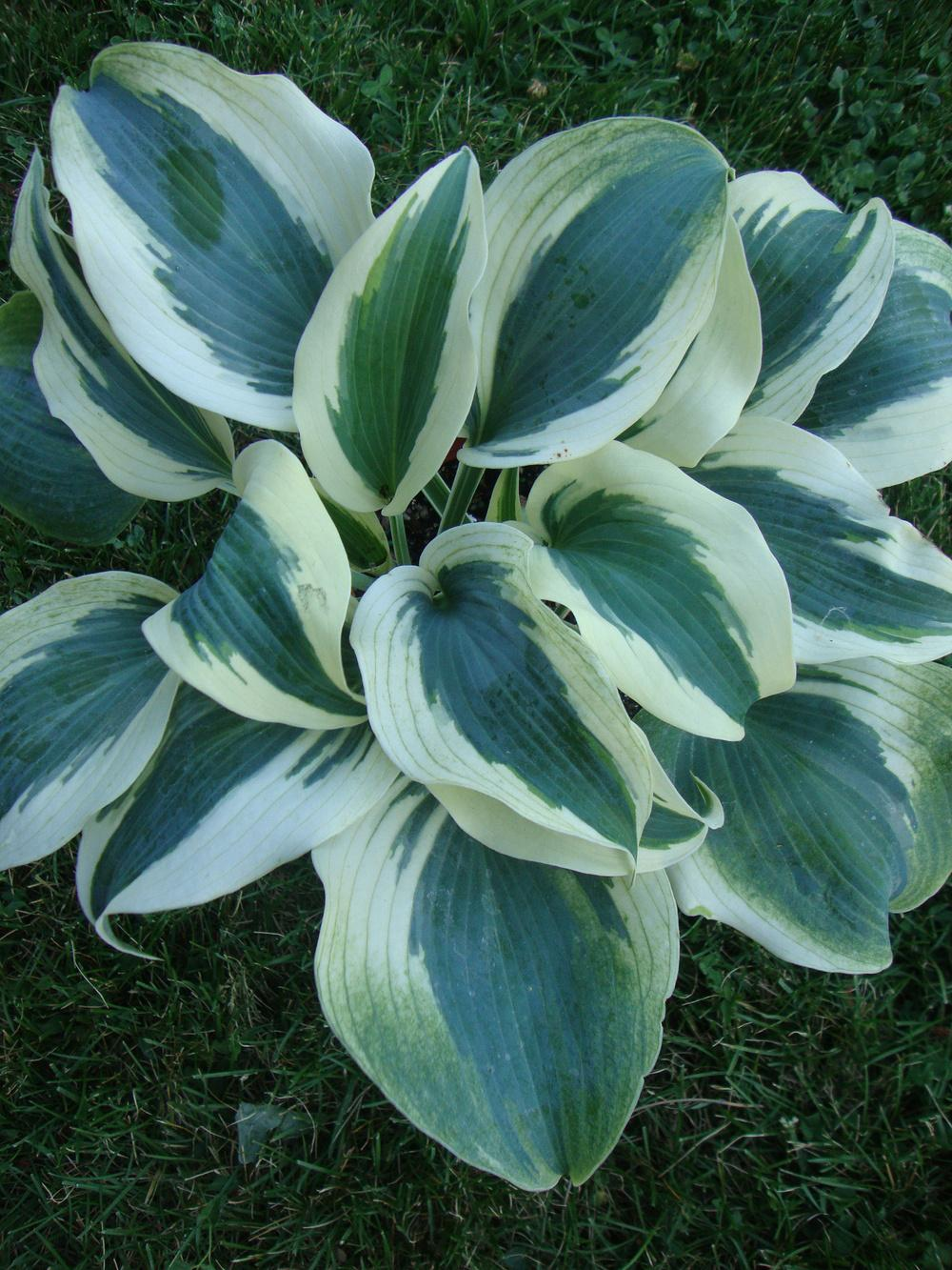 Photo of Hosta 'Blue Ivory' uploaded by Paul2032