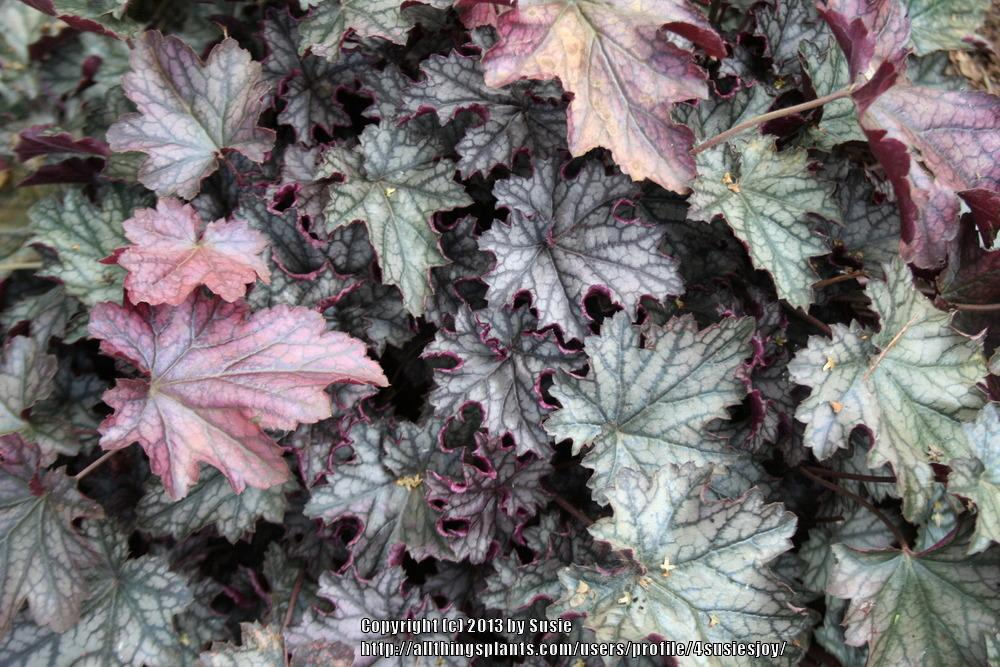 Photo of Coral Bells (Heuchera Dolce® Blackcurrant) uploaded by 4susiesjoy