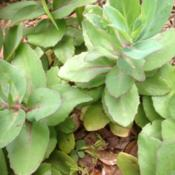 Location: Orangeburg, SCDate: 2013-06-22Succulent leaves