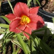 Location: Roby, TX Date: June 20, 2013Daylily Cranberry Baby