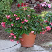 Location: My Cincinnati Ohio gardenDate: 2013-06-20Shot of second year plant
