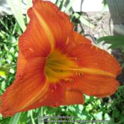 Location: My house in Portsmouth.Date: 2013-06-22Huge flower.