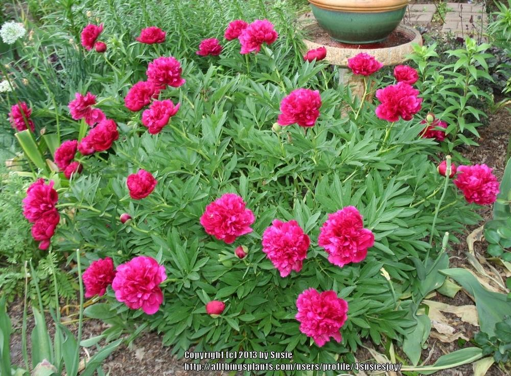 Photo of Chinese Peony (Paeonia lactiflora 'Kansas') uploaded by 4susiesjoy