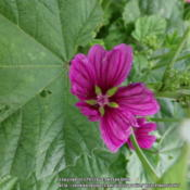 Location: Plano, TXDate: 2013-06-24Another plant is producing a dark pink/purple bloom